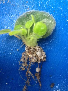 African violet leaf cutting with roots