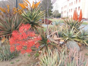 Aloes- including Aloe ferox (top)