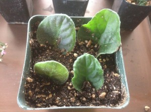 Leaf cuttings from an African violet