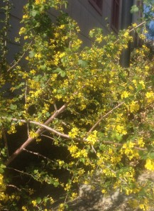 Ribes aureum Golden current