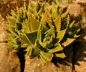 Aloe mitriformis not stressed