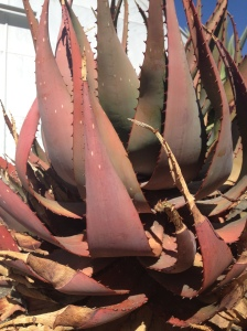 Aloe  showing signs of heat stress