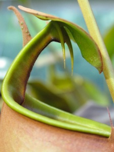 Nepenthes.bicalcarata.Jan2005 034