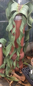 Welwitschia mirabalis with its perfectly normal brown leaf tips