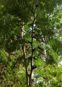 Bullhorn Acacia - Not a good climbing tree