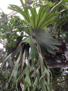 "Tropical P. superbum - note the large ""shield"" fronds"